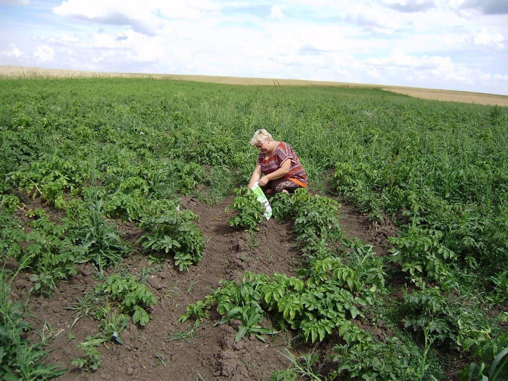 Провідний фахівець - агроном відділу фітосанітарних процедур Поворозник Л.С. проводить взяття проб грунту на виявлення золотистої і блідої картопляних нематод та раку картоплі