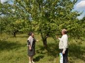 Провідний фахівець - агроном відділу фітосанітарних процедур Ковалишина Г.О. проводить обстеження яблуневих садів на виявлення заселення яблуневою міллю