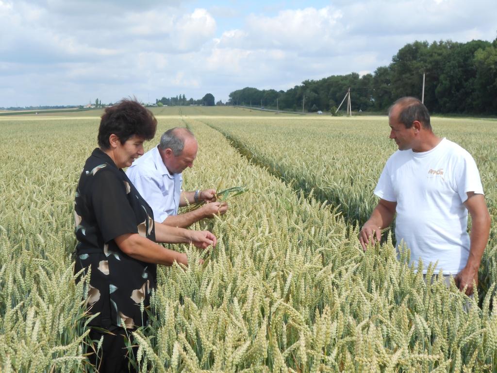 Заступник завідувача відділу фітосанітарних процедур Чубко М.І.  проводить обстеження посівів зернових культур на виявлення ураження хворобами колоса