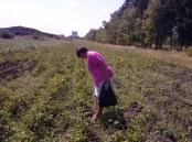 Провідний фахівець - агроном відділу фітосанітарних процедур Варениця Л.В. проводить обстеження  посадок картоплі на виявлення заселення колорадського жука