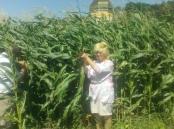 Провідний фахівець - агроном відділу фітосанітарних процедур Костюк О.П. проводить контрольне обстеження посівів кукурудзи на виявлення імаго західного кукурудзяного жука