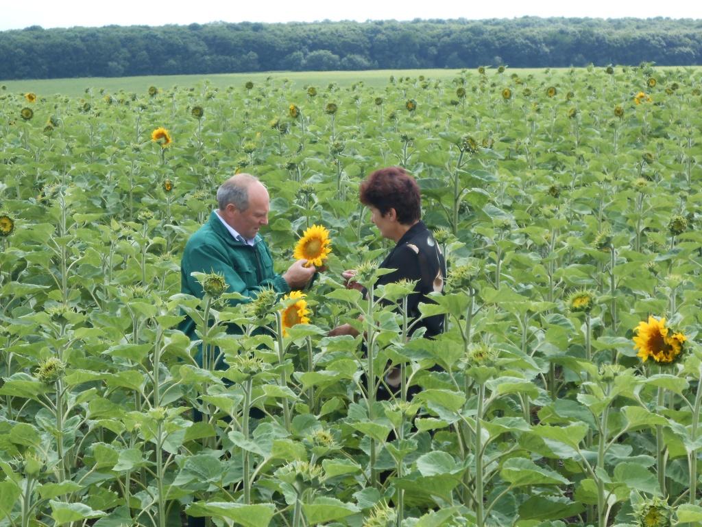 Заступник завідувача відділу фітосанітарних процедур Чубко М.І.  проводить обстеження посівів соняшнику на виявлення заселення геліхризовою попелицею