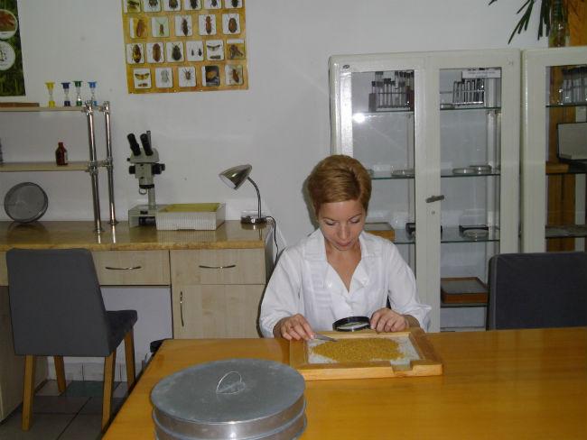 Провідний фахівець - герболог Гончарик Л. Я. під час проведення гербологічної експертизи зерна кукурудзи