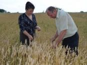 Провідний фахівець - агроном відділу фітосанітарних процедур Ковалишина Г.О. проводить обстеження посівів озимої пшениці хлібними клопами