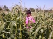 Провідний фахівець - агроном відділу фітосанітарних процедур Варениця Л.В. проводить обстеження посівів кукурудзи на заселення тепловим кукурудзяним метеликом