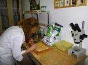 Провідний фахівець - ентомолог Турецька М. І. під час проведення ентомологічної експертизи зерна кукурудзи