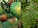 Як вберегти помідори від фітофтори