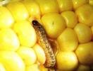 Щодо виявлення стеблового кукурудзяного метелика