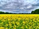 Прогноз фітосанітарного стану основних с/г рослин у господарствах Тернопільської області в травні 2015 року