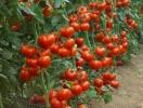 Про вирощування томатів без таємниць