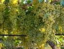Шкідники й хвороби винограду