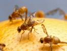 Середземноморська плодова муха–небезпечний гість із-за кордону
