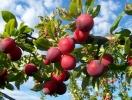 Прогноз фітосанітарного стану основних с/г рослин у господарствах Тернопільської області в серпні 2014 року