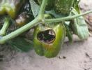 Шкідники та хвороби перцю