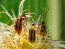 Щодо виявлення західного кукурудзяного жука