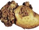 Щодо виявлення карантинного організму  раку картоплі