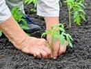 Розсада помідорів: крок за кроком