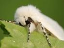 Щодо виявлення американського білого метелика