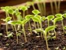 Добре насіння - високий врожай