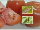При здійсненні фітосанітарного контролю виявлено карантинний організм в імпортних помідорах!